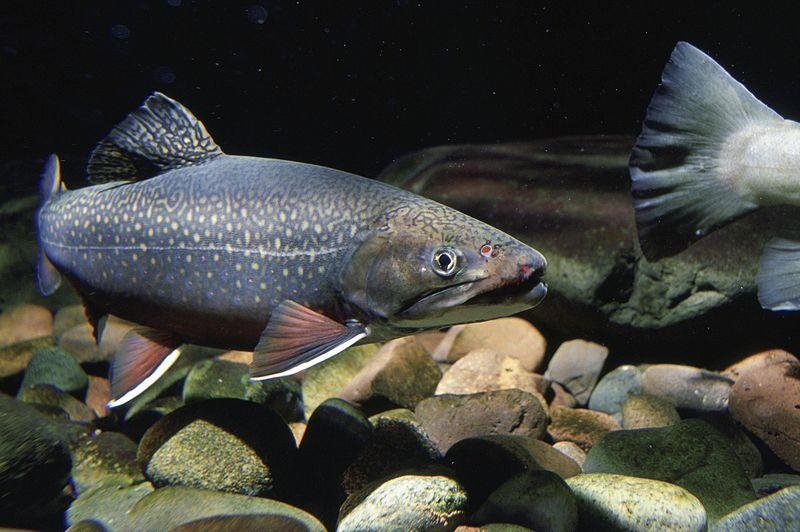 A brook trout is pictured in the water.