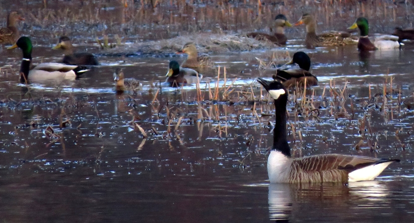 Geese and mallards welcome spring on the floodplain brook