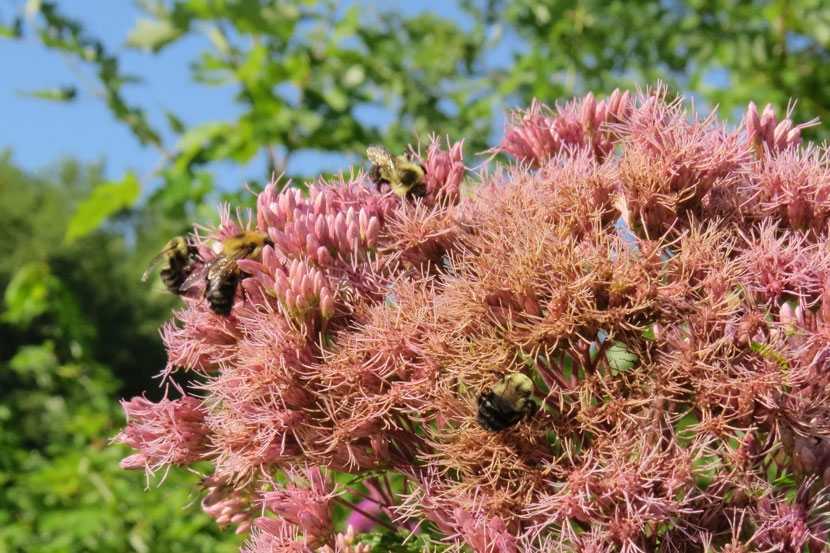 Bees pollinating joe pye weed.