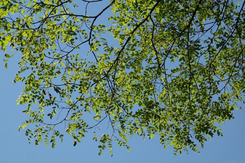 Leaves of a locust tree in sunlight.