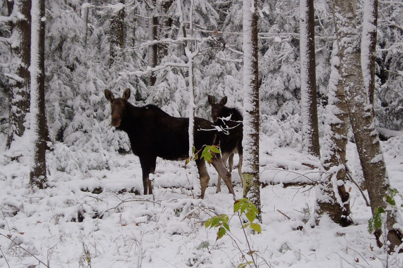 Moose in winter in New Hampshire