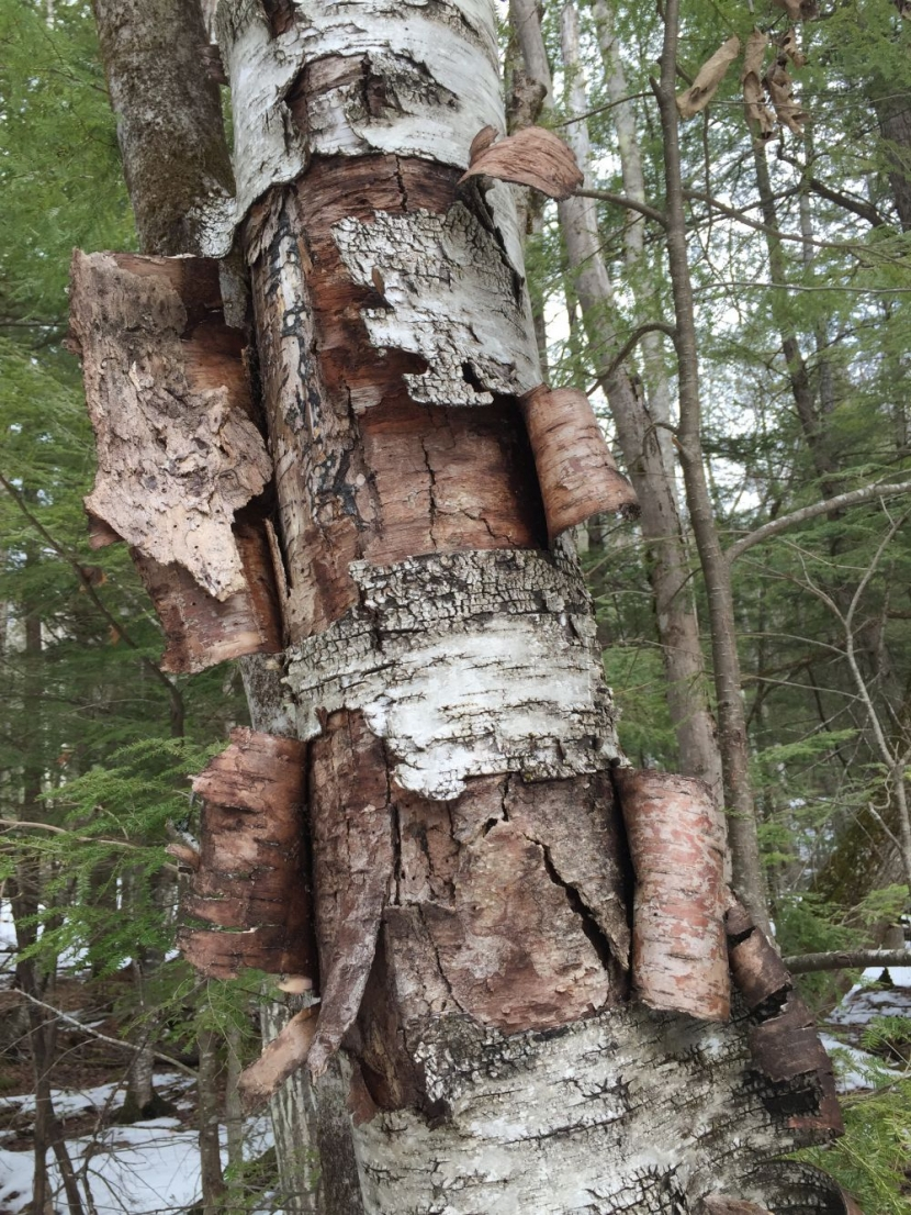 Birch bark peeling off of a dead tree.