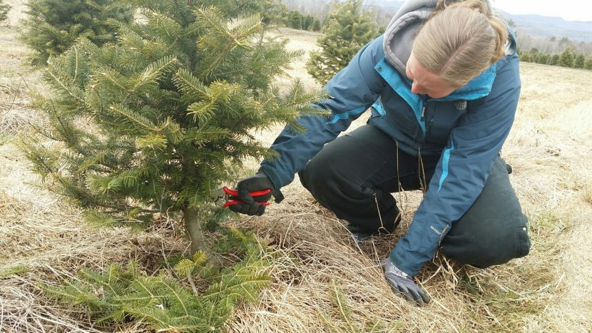 A woman crouches below a spruce tree to trim it.