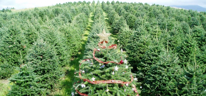 A Christmas tree amidst rows of other growing trees stands out with decorations.