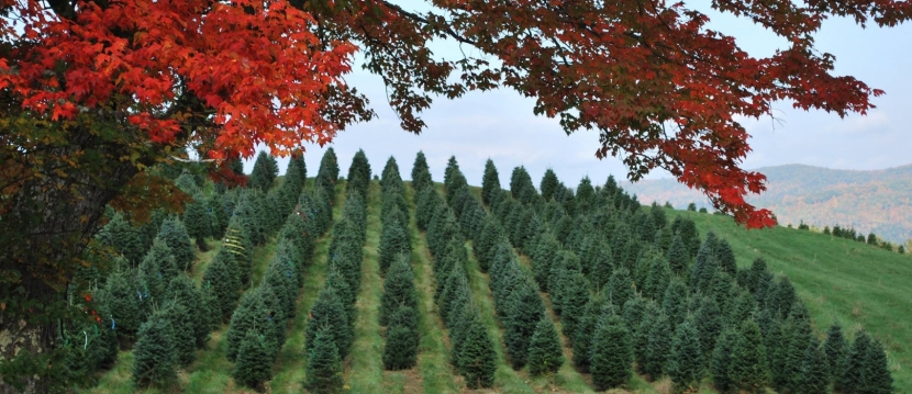 Red maple leaves in foregroud with green rows of Christmas Trees in background