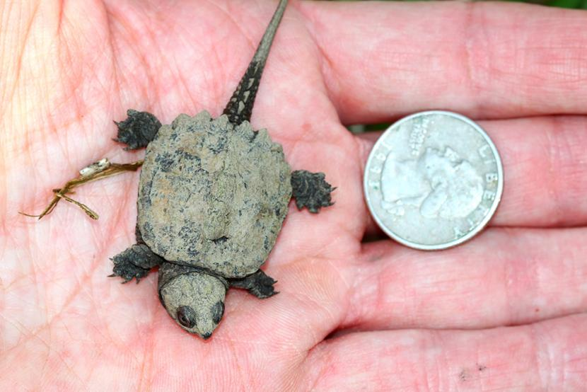 Defending The Cute When Small Snapping Turtle Forest Society