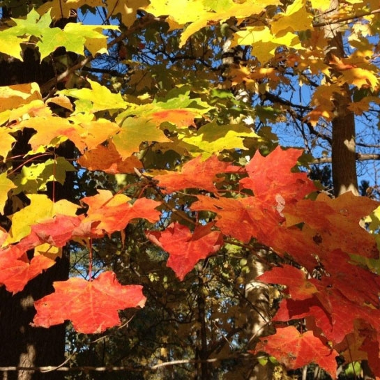 Sugar maple fall foliage