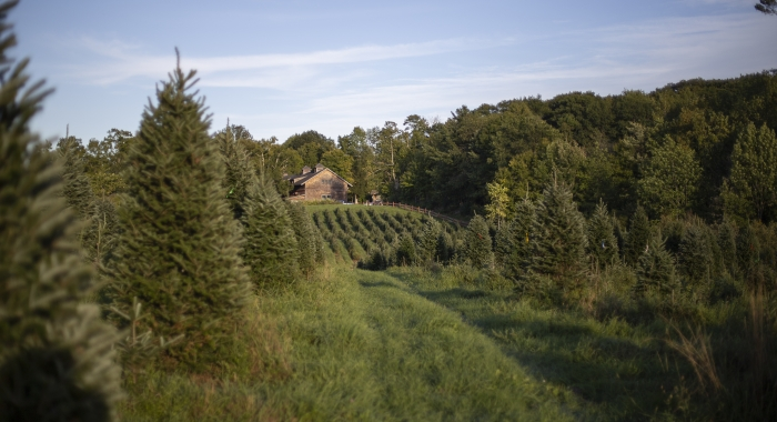 Rows of Christmas trees in a green field leading to a barn.