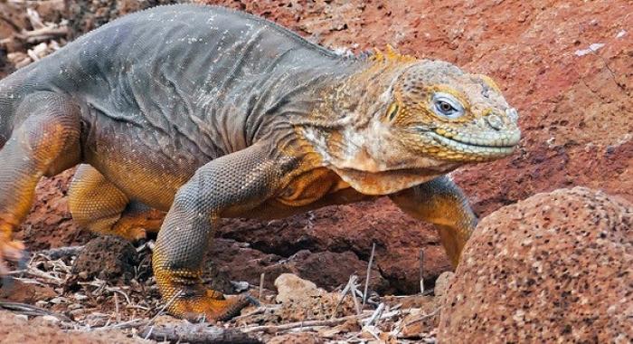 Galapagos Land Iguana by Jeff Sluder