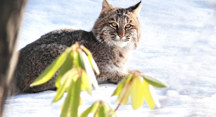 Bobcat looking at camera in snow with rhododendron in foreground