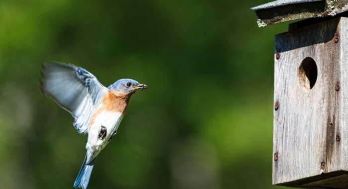 Bluebird at nest box photo by Garrett Evans