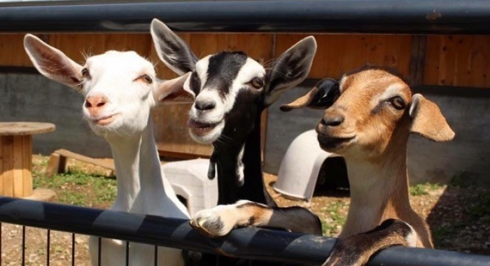 Three goats are curious about the camera on Meadowstone Farm.