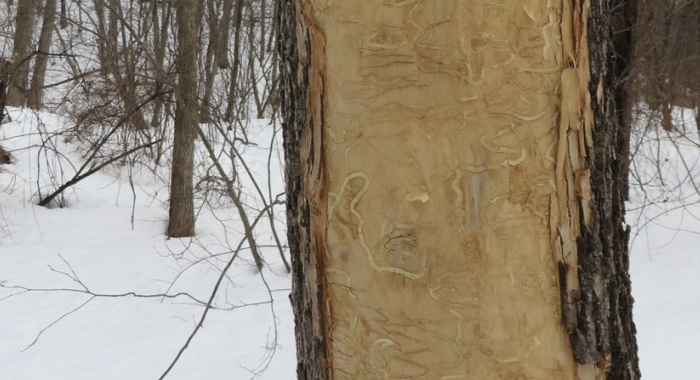 Serpentine galleries under the bark are one form of visible damage from Emerald Ash Borer