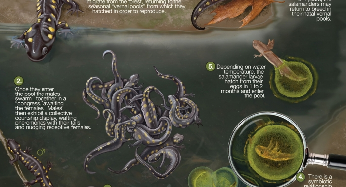The lifecycle of the spotted salamander. Courtesy Juliana Spahr, scivisuals.com.