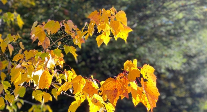 Yellow leaves of a Red Maple in morning sunlight October