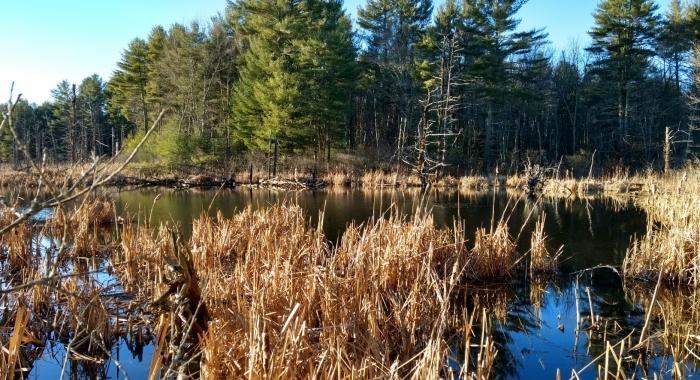 Clay Brook Forest, beaver pond, Hampton Falls, SPNHF