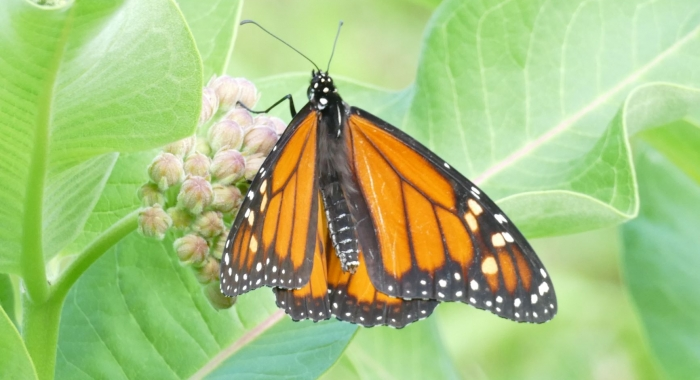 Monarch at Tom Rush Forest