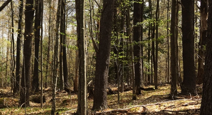 Trees stand in a forest conservation easement.