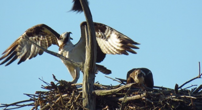 An osprey reacts with beak open to harrassment from grackle