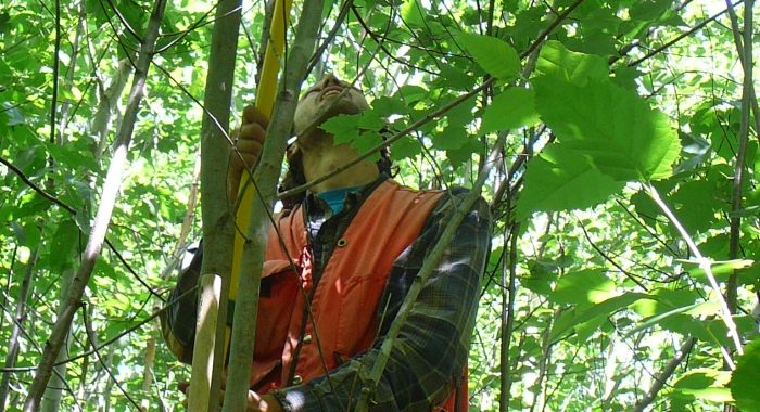 Measuring a tree in a 12-year-old clearcut.