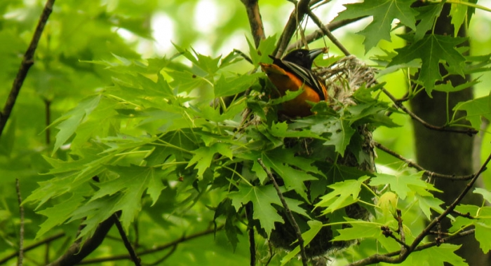 Baltimore Oriole Sits on Nest during Spring in New Hampshire