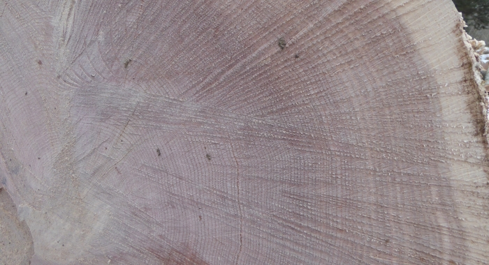 Cross-section of a cut red oak sawlog.  Can you count back to the 1990 harvest and see the increase in the growth rate?