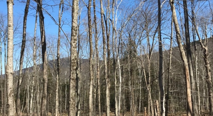 Thin trees with the summit of Gap Mountain behind.