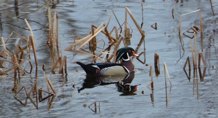 A colorful wood duck drake on top of water.