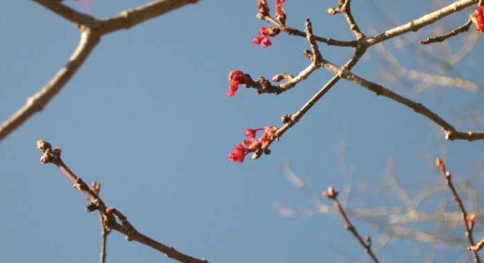 Red maple buds & flowers. Photo DA