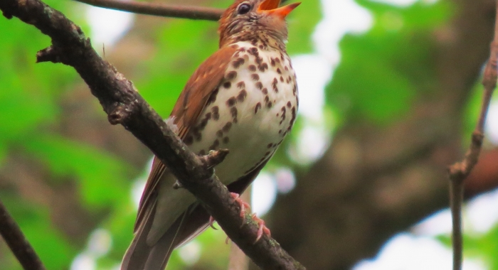 Wood thrush singing spring