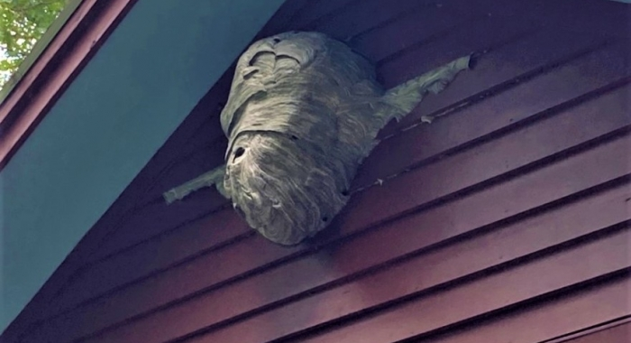 A bald-faced hornet nest is pictured close to a house's eaves.