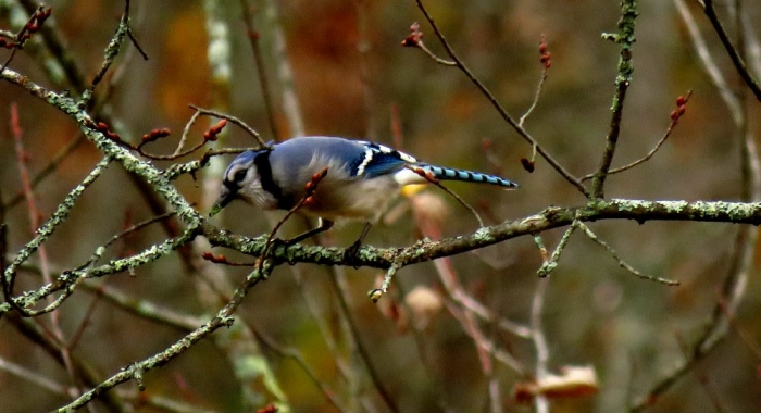 A blue jay in autumn yellow foliage of an alder eating bright green bit of lichen
