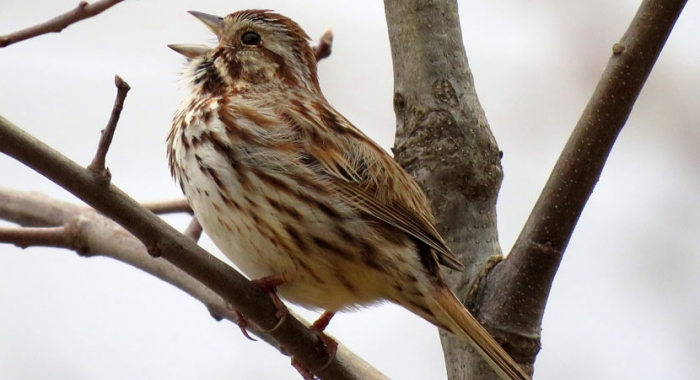 Song Sparrow spring birdsong on a New Hampshire floodplain forest