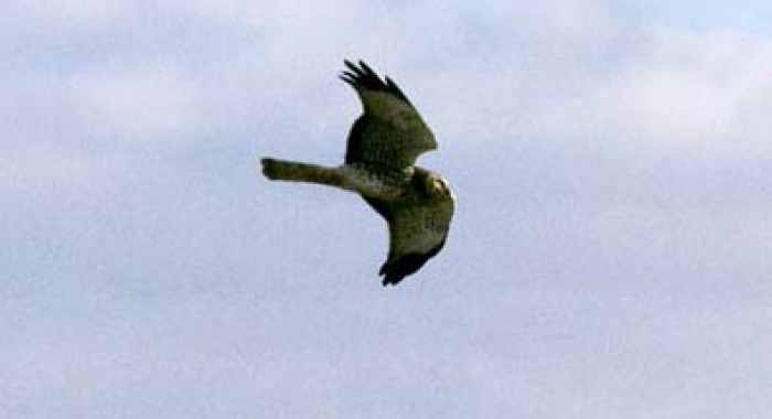 A northern harrier in flight.