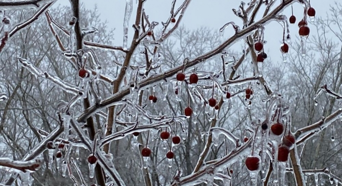 ice builds-up on crab apple branches