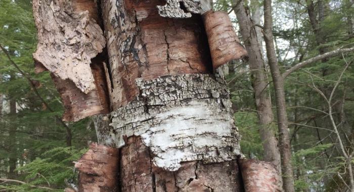 Birch bark peeling off of a dead tree.
