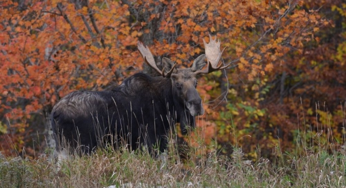 Bull moose with antlers facing camera against backdrop of colorful autumn leaves