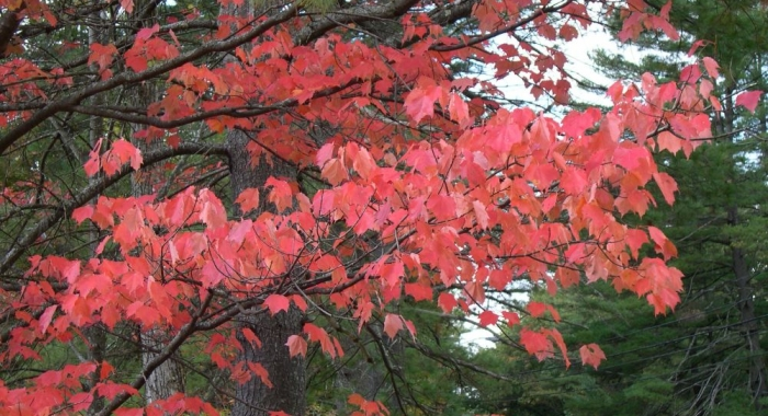 A branch of red maple with pinkish-red leaves