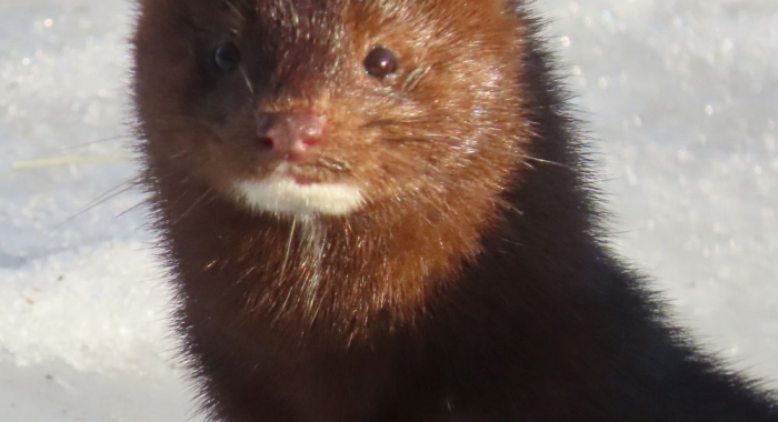 A mink standing on snow looks at the camera.