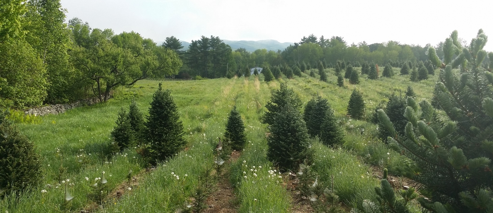 Rows of Christmas trees in a green field with a few tiny saplings among them.