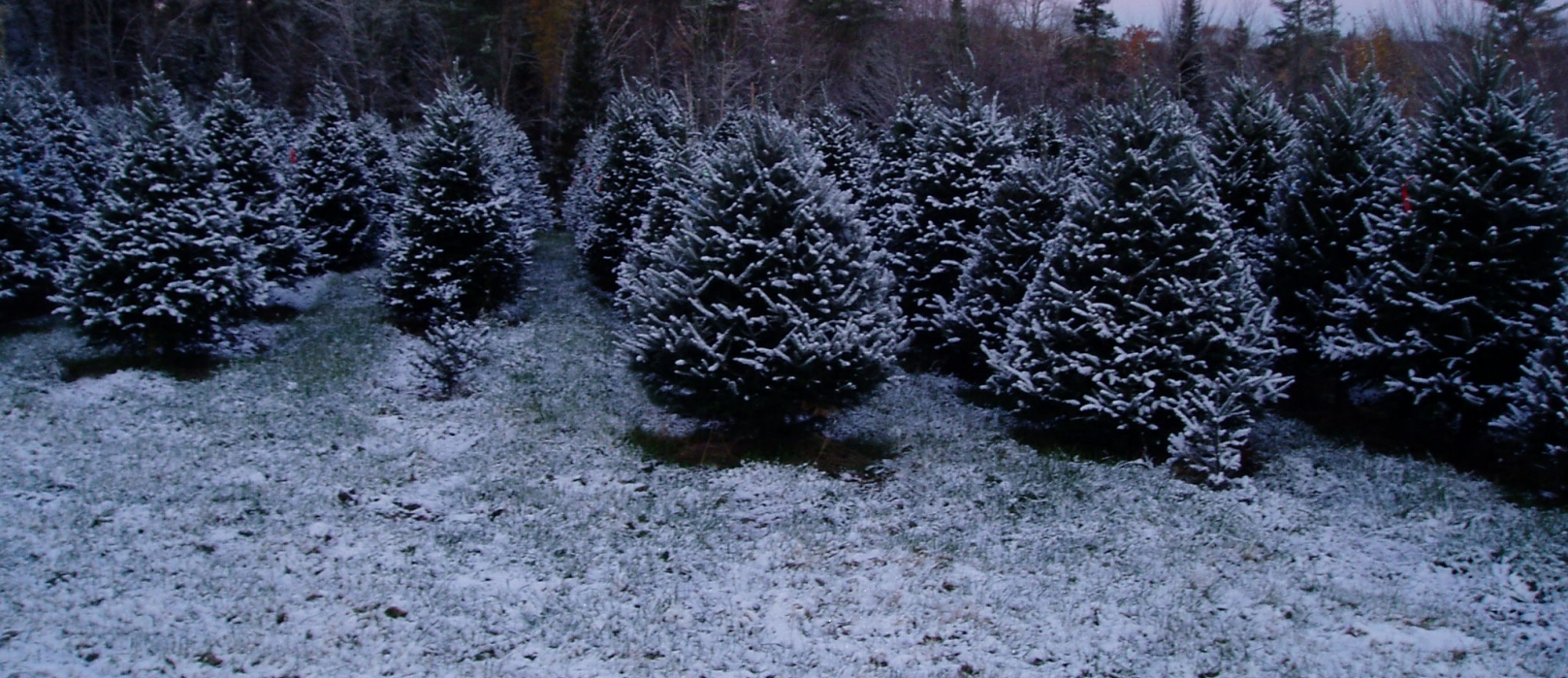 Christmas Trees in rows stand lightly covered in snow.