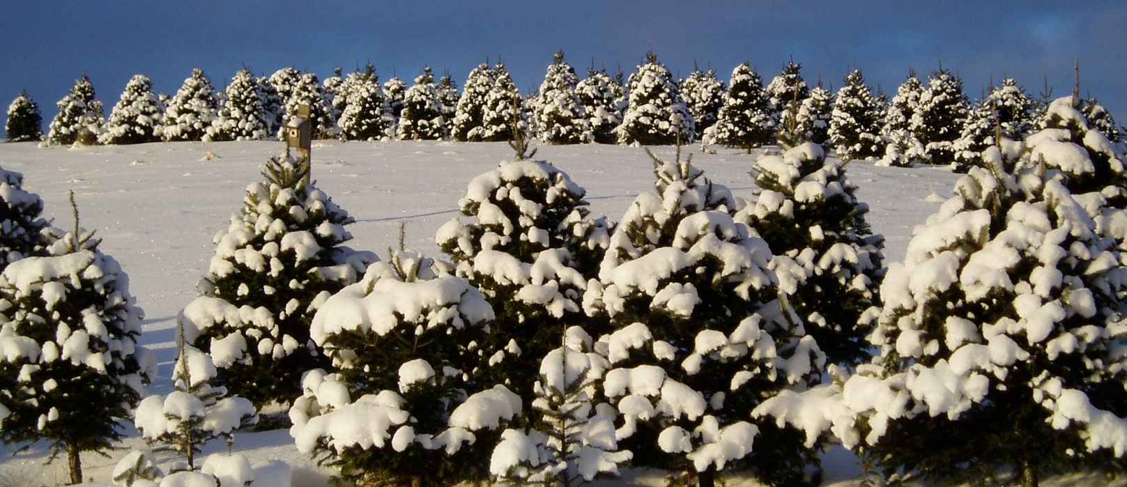 Rows of Christmas trees are covered in snow in wintertime.