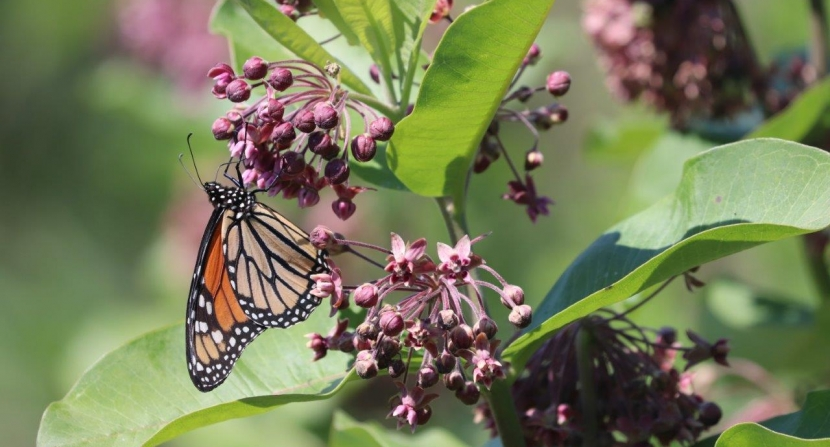 Monarch butterfly feeding on milkweed flowers