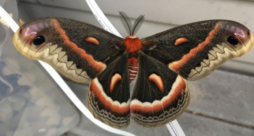 Furry body, stiped abdomen, feathery antennae and bold eye spots on the mahogany brown wings of the hand-sized Cecropia moth