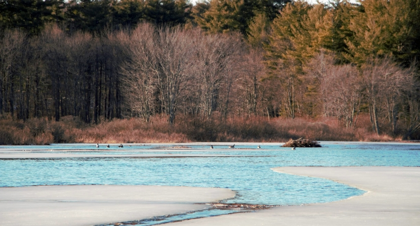 Canadian geese find open water at Lake Massabesic on an early spring day in March.