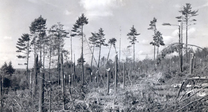 A stand of pine trees looks like they snapped like toothpicks due to wind damage from the Hurricane of 1938.