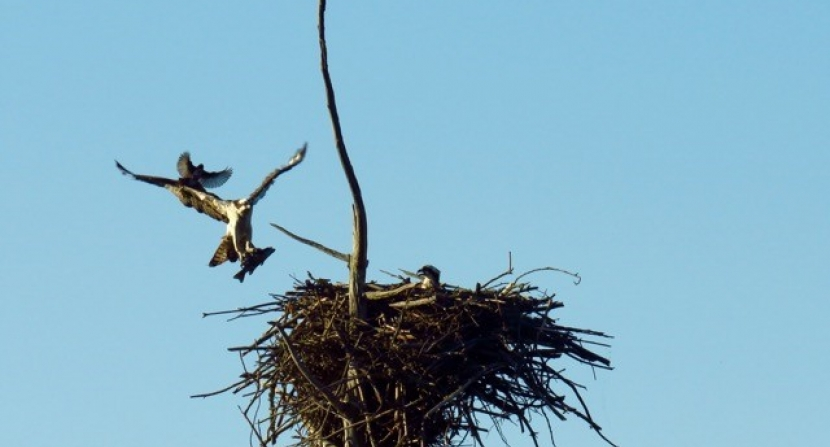 Osprey delivering fish to mate on nest harassed by grackle