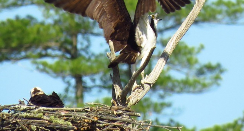 Osprey reacts to a grackle at shared nest site