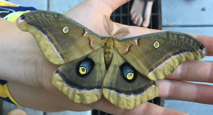 Blue eyespots on the upper wing surface of the hand-sized Polyphemus Moth.