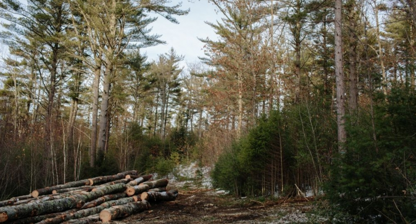 2-stage shelterwood on Standke Woodlot in Deering. Photo EL